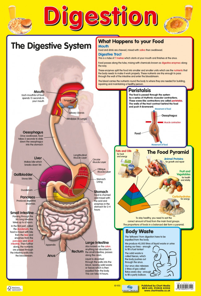 Posters Uk Digestive System Wholesale Healthy Amp Body