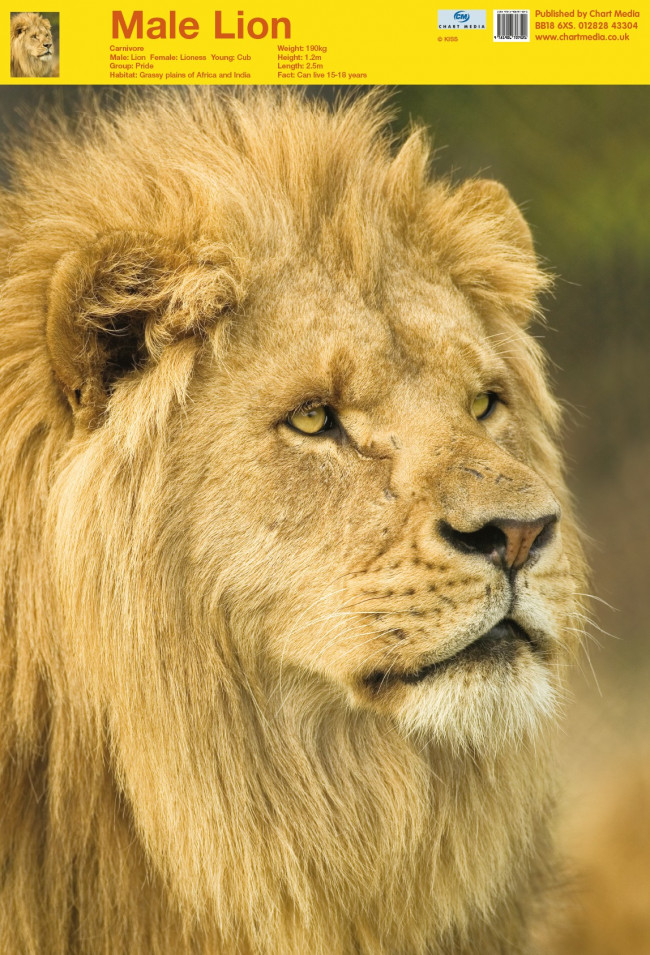 Posters Uk Lion Posters Wholesale Wall Posters Free