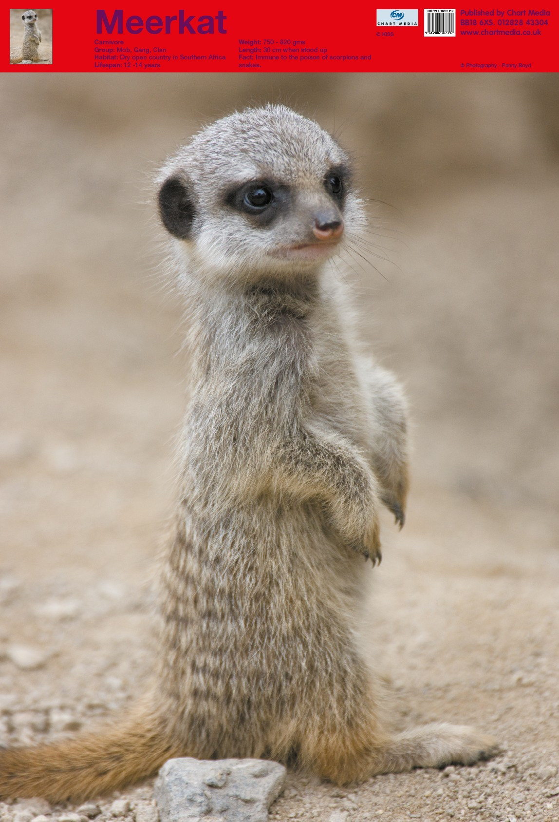 Posters Uk Cute Meerkat Animal Posters Wholesale Wall Posters Free Delivery
